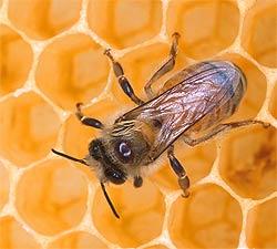 Tratamentul cu venin de albine