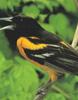 Carotenoidele dau culoare penajului pasarilor
